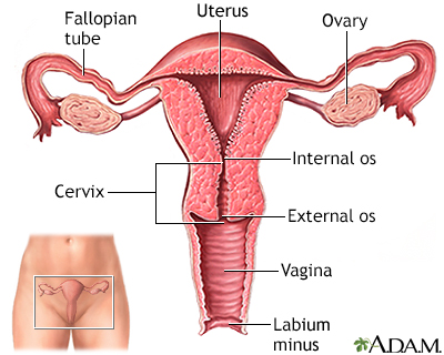 Pictures of a uterus image collections human anatomy organs diagram pictures of uterus gallery human anatomy organs diagram ccuart Image collections